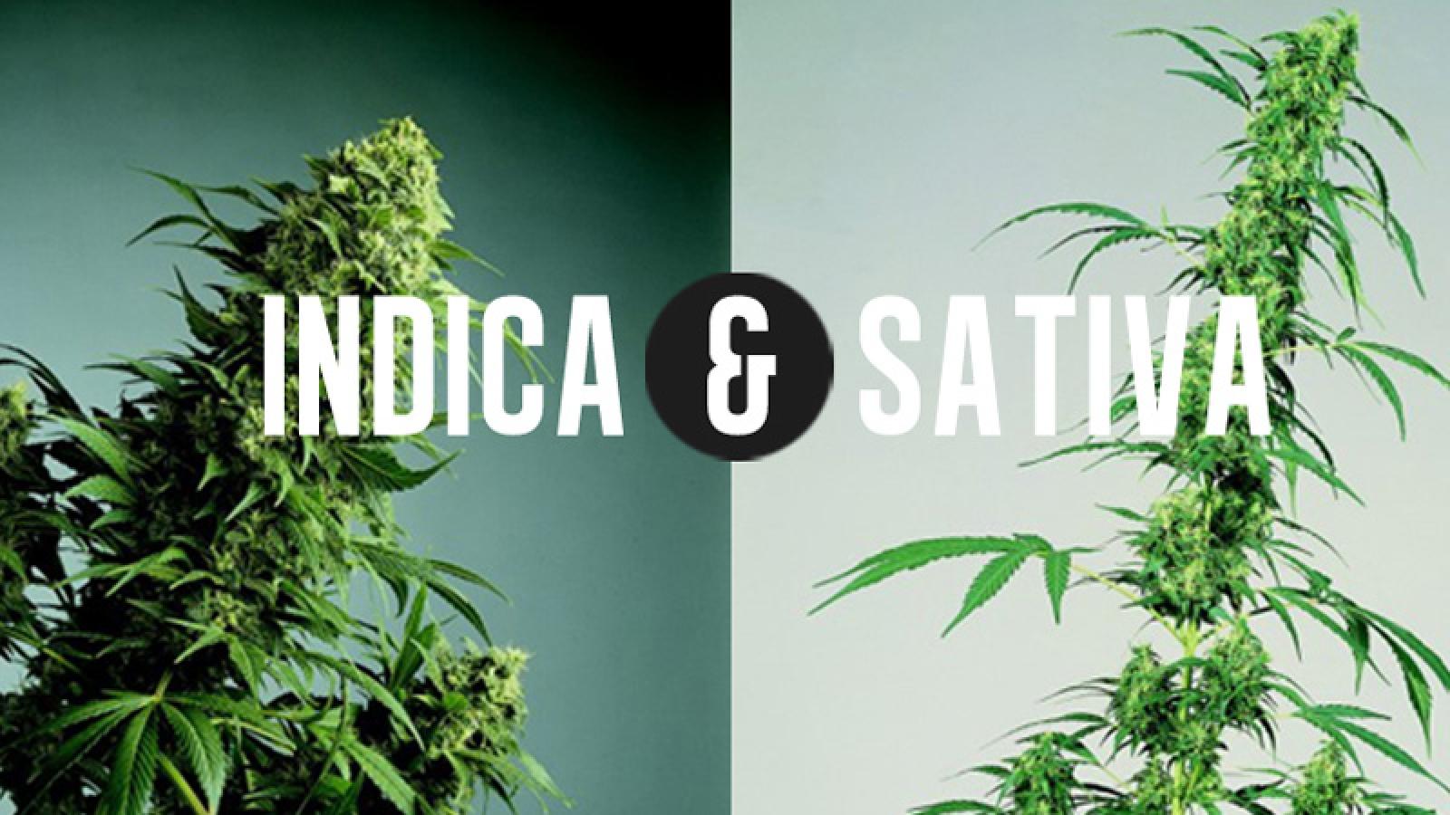 13-INDICA-VS-SATIVA-burningroaches.com_