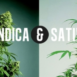 13-INDICA-VS-SATIVA-burningroaches.com_